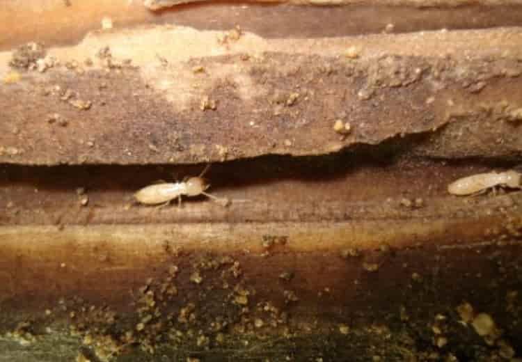 2 cách chống mối bảo vệ sàn gỗ hiệu quả nhất - diệt mối Nha Trang