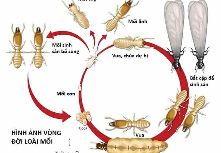 Hình ảnh con mối trông như thế nào - vòng đời phát triển của loài mối