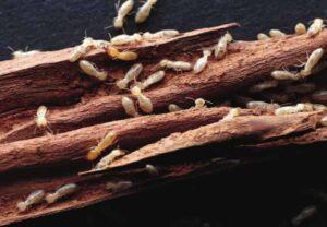 Mách bạn những cách diệt mối sàn gỗ hiệu quả - diệt mối Nha Trang