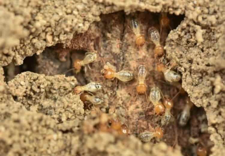 Môi trường sống và thức ăn của mối là gì - diệt mối Nha Trang- nguồn thức ăn của mối trong tự nhiên